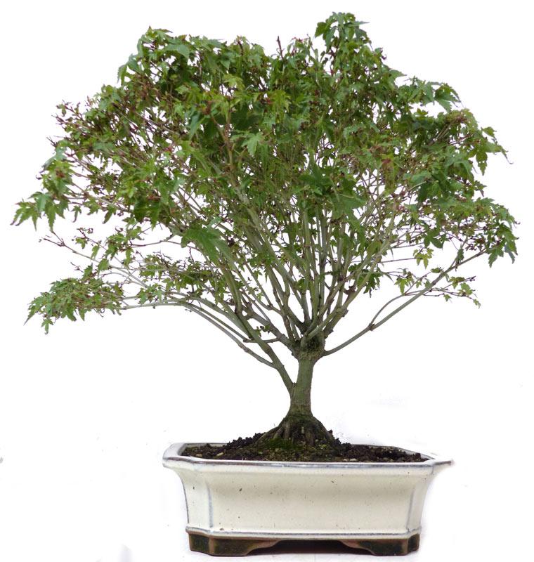 shop bonsai ahorne a010 a010 02 jap. Black Bedroom Furniture Sets. Home Design Ideas