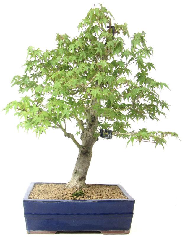 produkte bonsai ahorne a013 jap f cherahorn ca 15. Black Bedroom Furniture Sets. Home Design Ideas