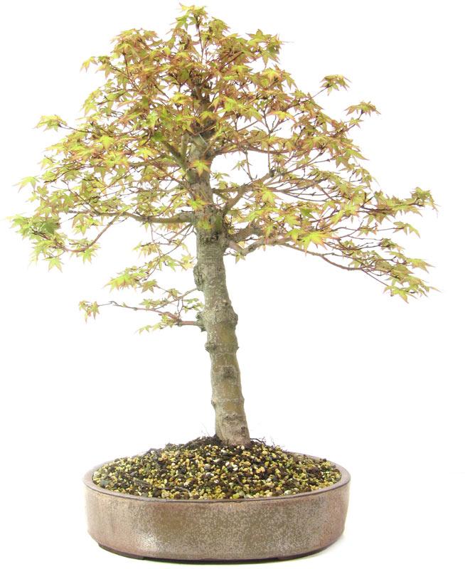 produkte bonsai ahorne a015 jap f cherahorn ca 20. Black Bedroom Furniture Sets. Home Design Ideas