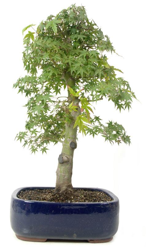 produkte bonsai ahorne a019 jap f cherahorn ca 15. Black Bedroom Furniture Sets. Home Design Ideas