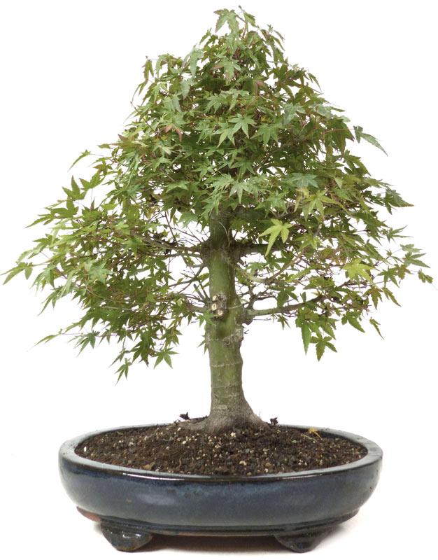 produkte bonsai ahorne a021 jap f cherahorn ca 18. Black Bedroom Furniture Sets. Home Design Ideas