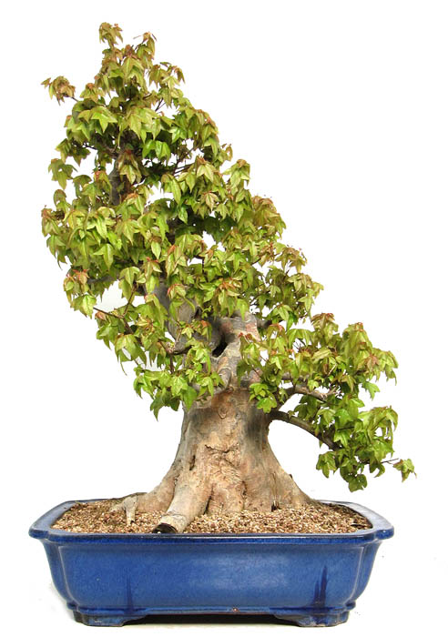 produkte bonsai ahorne der bonsai online shop. Black Bedroom Furniture Sets. Home Design Ideas