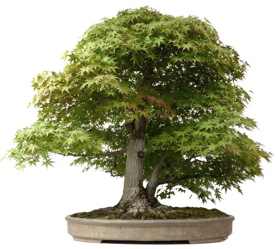 produkte bonsai ahorne der bonsai online. Black Bedroom Furniture Sets. Home Design Ideas