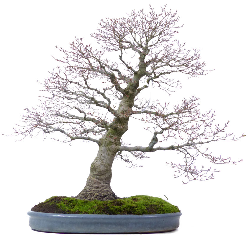 shop bonsai ahorne a046 jap f cherahorn. Black Bedroom Furniture Sets. Home Design Ideas