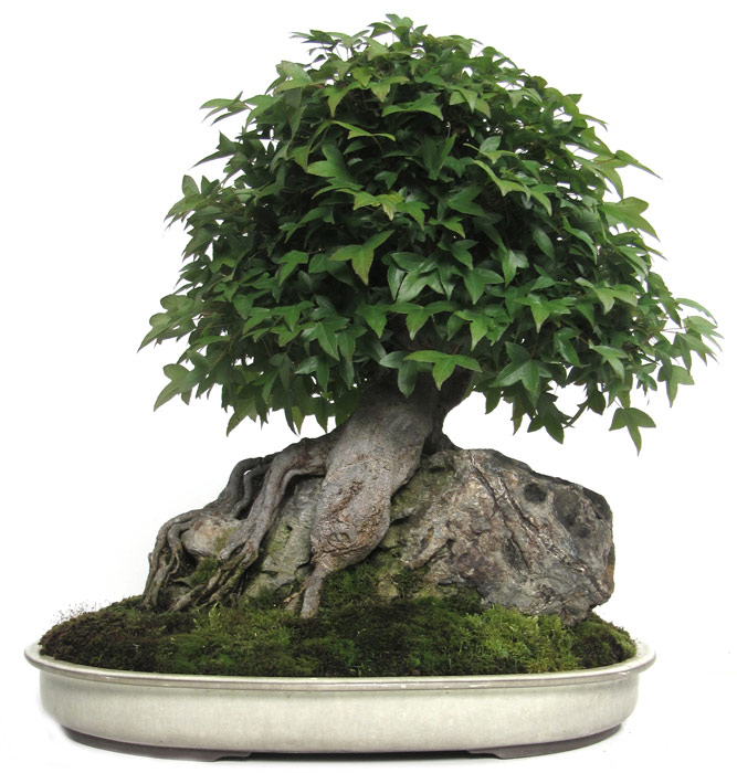 Produkte bonsai ahorne dreispitzahorn ca 30 j 41 for Bonsai onlineshop