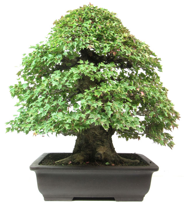 (75 cm) - www.bonsai 969f3d9c6558