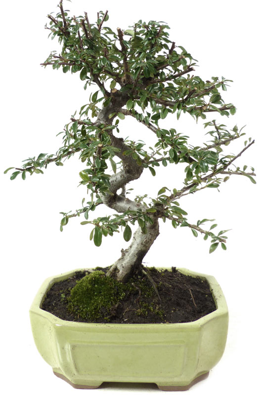 products bonsai blossoming b015 cotoneaster ca 7. Black Bedroom Furniture Sets. Home Design Ideas
