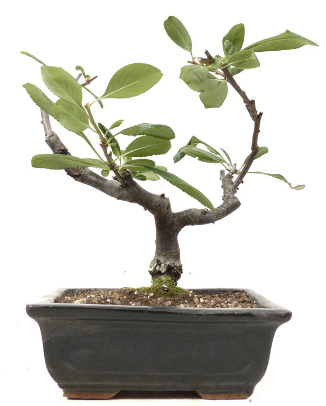 Produkte bonsai bl hend b026 zierquitte ca 10 for Bonsai onlineshop