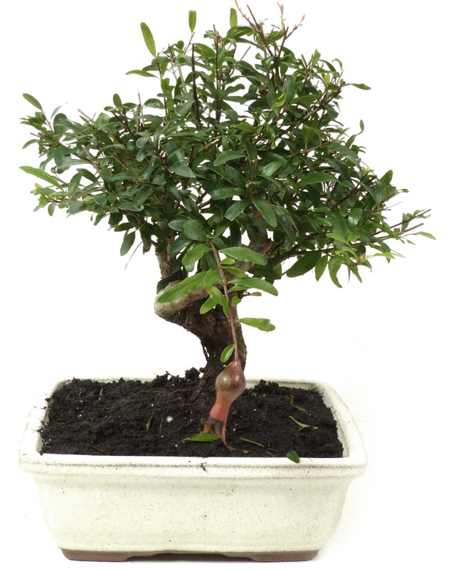 produkte bonsai bl hend b036 granatapfel ca 7 jahre der bonsai online shop. Black Bedroom Furniture Sets. Home Design Ideas