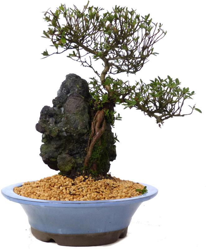 (31 cm) - www.bonsai b7dbe8a48c94