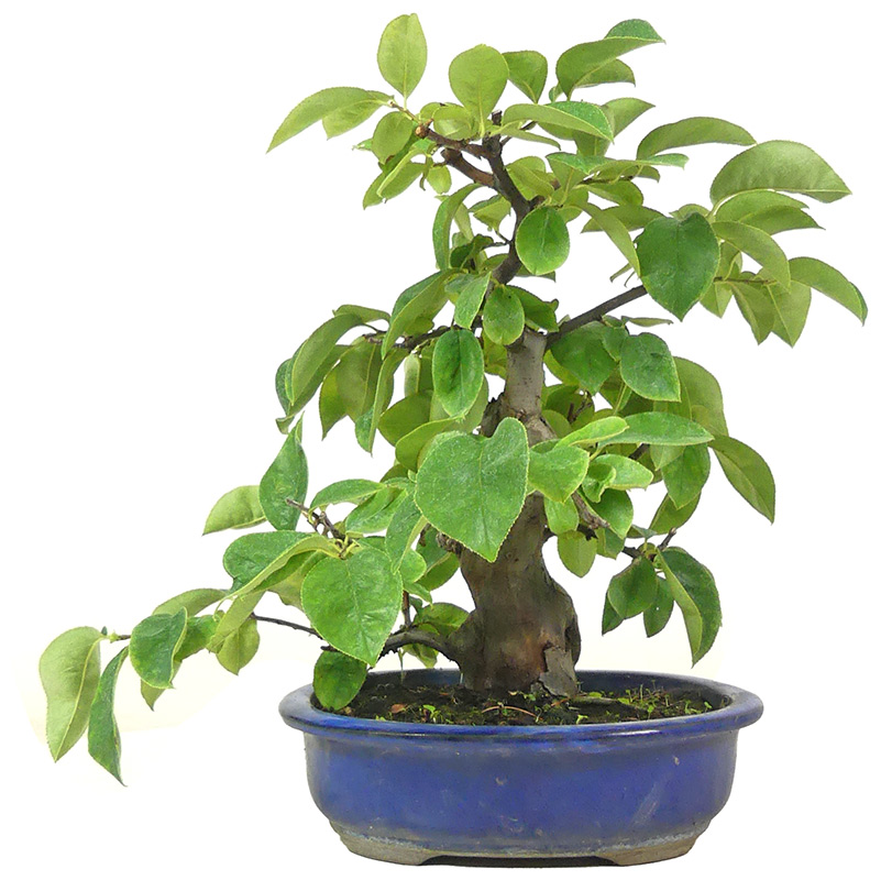 Bonsai De Shop Bonsai Bluhend B067 Chin Quitte Ca 14 J 32 Cm