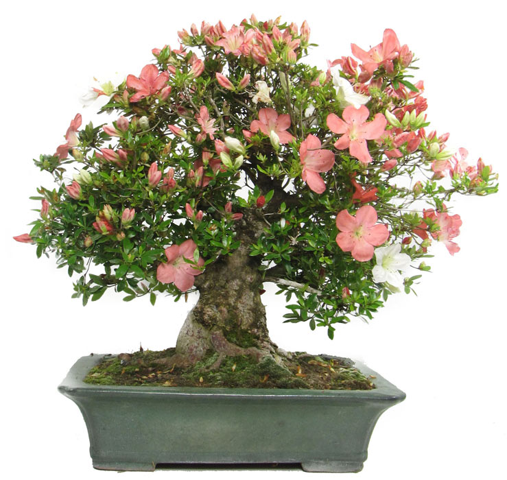 Produkte bonsai bl hend jap azalee ca 60 j 46 for Bonsai onlineshop