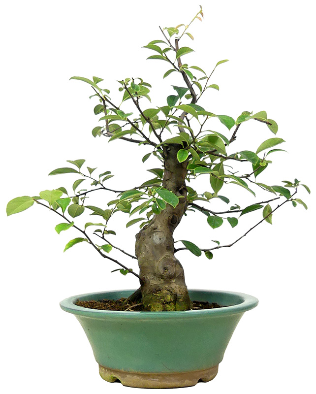 Bonsai De Shop Bonsai Bluhend B075 Chin Quitte Ca 15 J 40 Cm