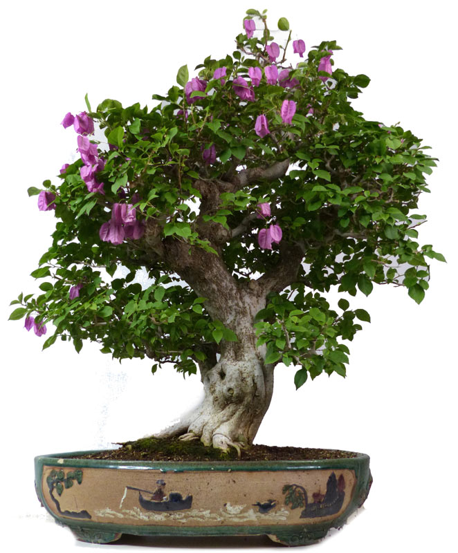 shop bonsai bl hend b090 bougainvillea drillingsblume ca 50 j 115 cm. Black Bedroom Furniture Sets. Home Design Ideas