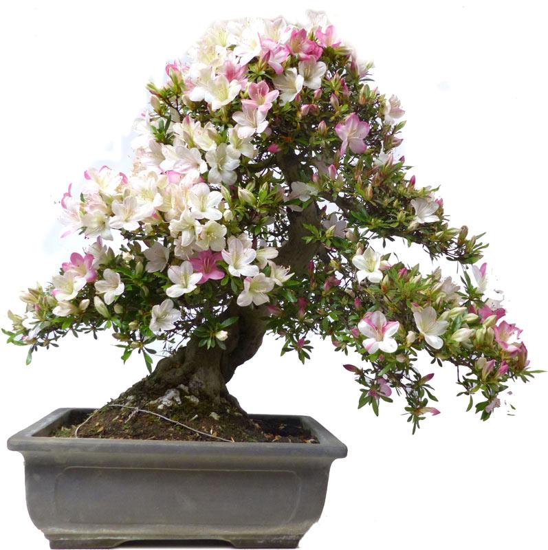 bonsai da fiore