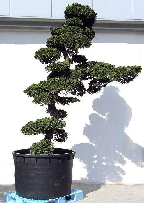 Japanische zypresse