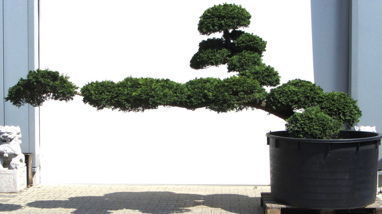 Produkte gartenbonsai verschiedene gartenbonsai for Bonsai onlineshop