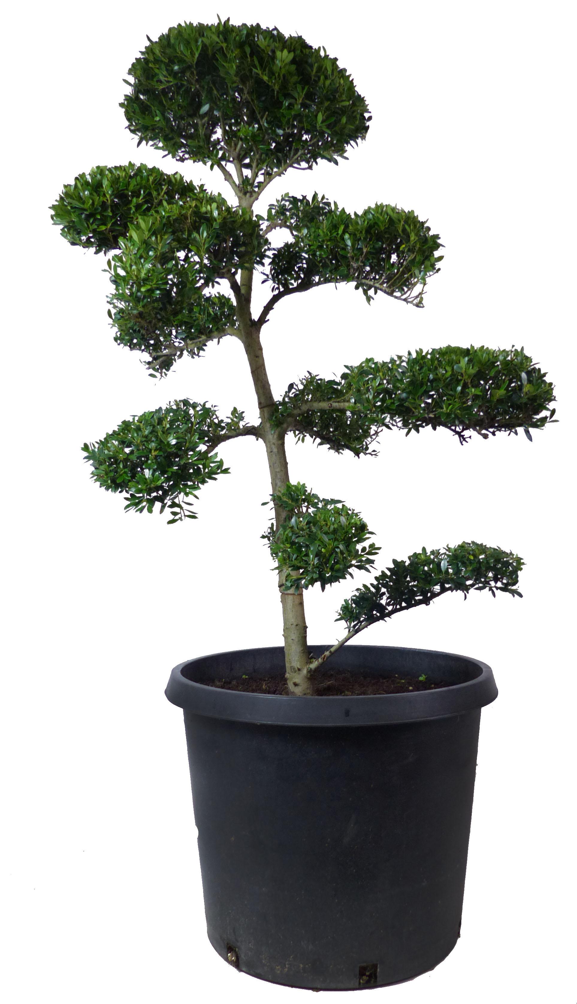 18 years - www.bonsai.de db277282c6e7