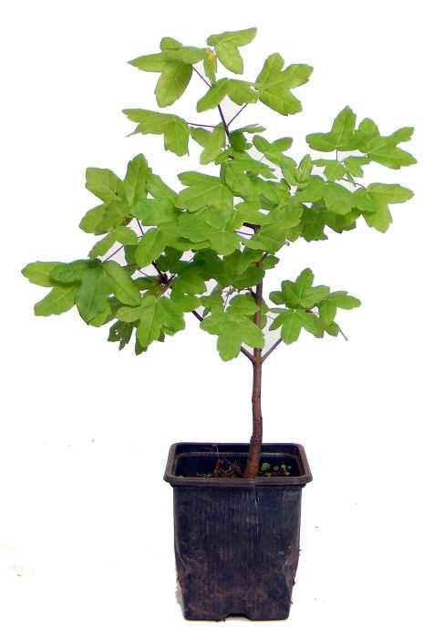 jeunes plants bonsai