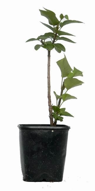 bonsai wilder flieder ca 3 j 15 25 cm. Black Bedroom Furniture Sets. Home Design Ideas