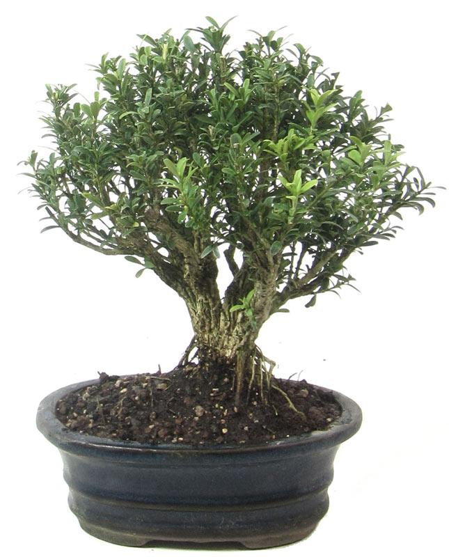 produkte bonsai kalthaus k001 buchsbaum ca 9 jahre. Black Bedroom Furniture Sets. Home Design Ideas