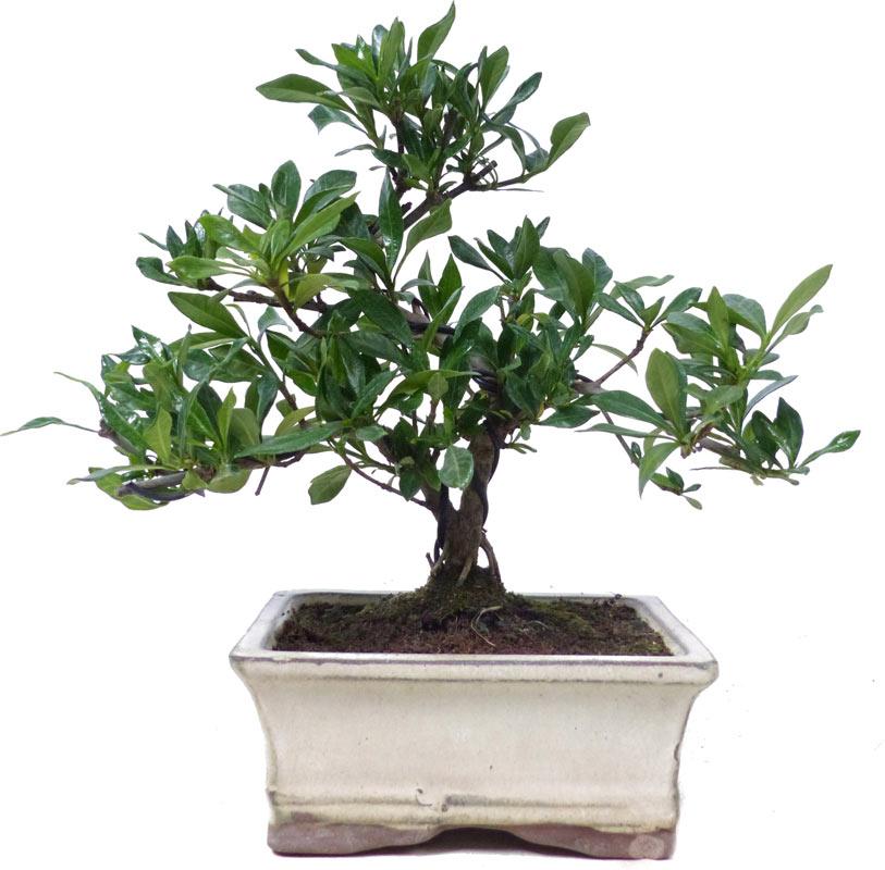 Gardenia, Ca. 7 Y. (21 Cm)   Www.bonsai.