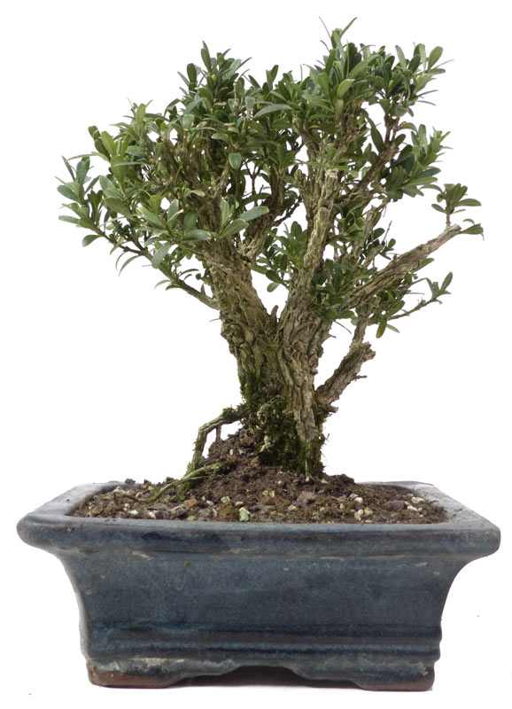 shop bonsai kalthaus k009 k009 02. Black Bedroom Furniture Sets. Home Design Ideas