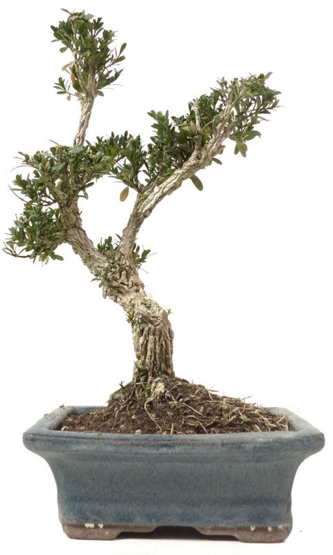 produkte bonsai kalthaus k009 buchsbaum ca 9 jahre. Black Bedroom Furniture Sets. Home Design Ideas