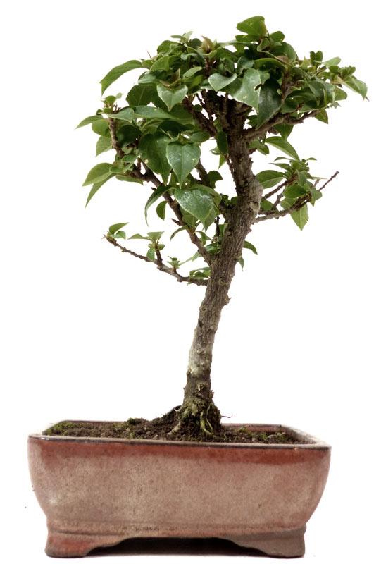 produkte bonsai kalthaus k010 bougainvillea drillingsblume ca 7 jahre. Black Bedroom Furniture Sets. Home Design Ideas