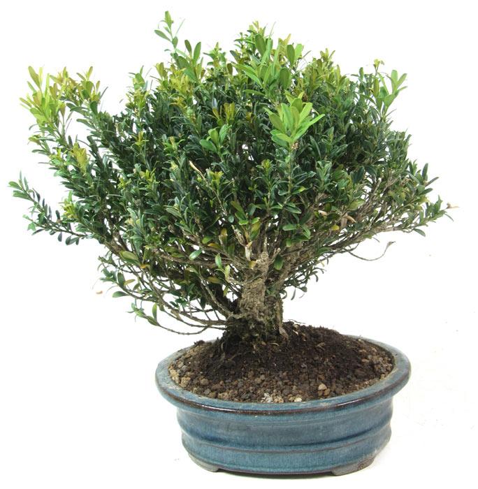 products bonsai subtropic k011 box tree ca 10. Black Bedroom Furniture Sets. Home Design Ideas