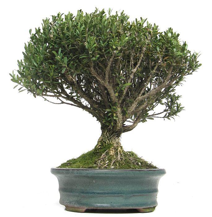 produkte bonsai kalthaus k011 buchsbaum ca 10. Black Bedroom Furniture Sets. Home Design Ideas