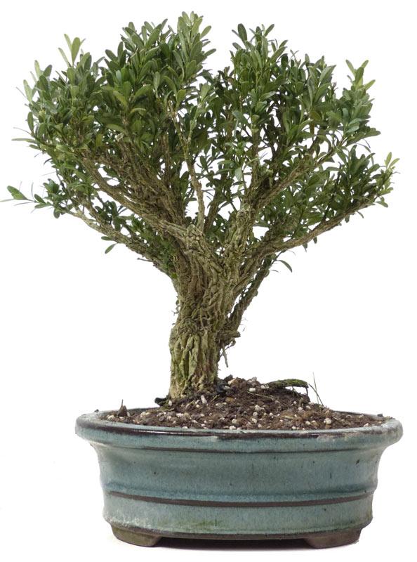 produkte bonsai kalthaus k012 buchsbaum ca 10. Black Bedroom Furniture Sets. Home Design Ideas