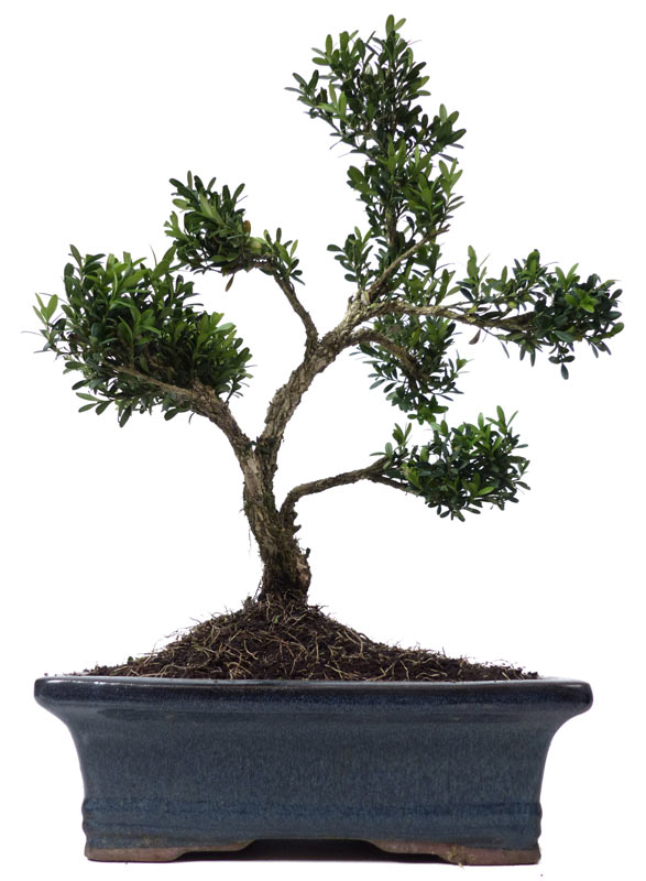 produkte bonsai kalthaus k013 buchsbaum ca 15. Black Bedroom Furniture Sets. Home Design Ideas