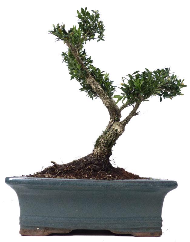 shop bonsai kalthaus k013 k013 03. Black Bedroom Furniture Sets. Home Design Ideas