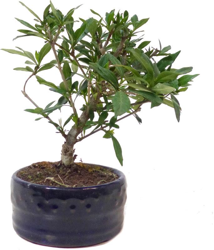 Gardenia, Ca. 5 Y. (17 Cm)   Www.bonsai.