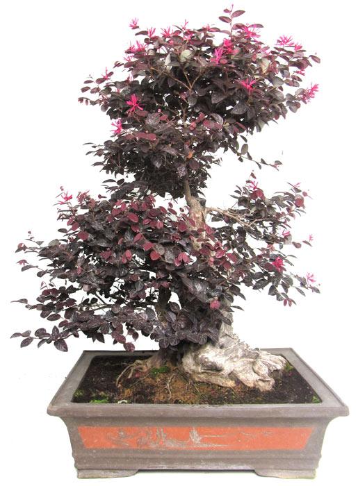 Loropetalum Bonsai Trees - ALL THINGS BONSAI