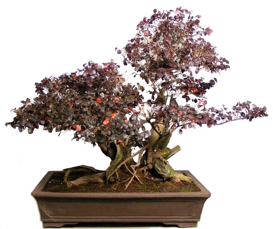 FLOWERING CHINESE FRINGE (Loropetalum Chinensis) bonsai - YouTube