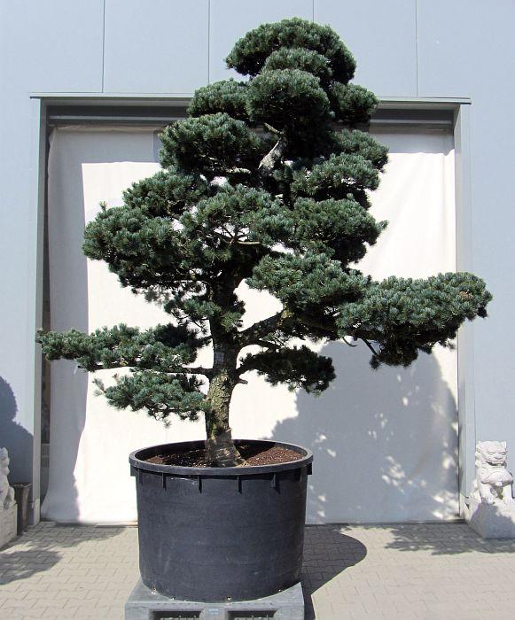 produkte gartenbonsai kiefer gartenbonsai kiefer ca 20 jahre der bonsai. Black Bedroom Furniture Sets. Home Design Ideas