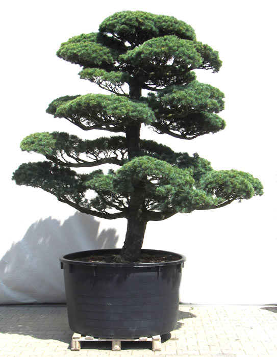 produkte gartenbonsai kiefer gartenbonsai m dchenkiefer ca 40 jahre der. Black Bedroom Furniture Sets. Home Design Ideas