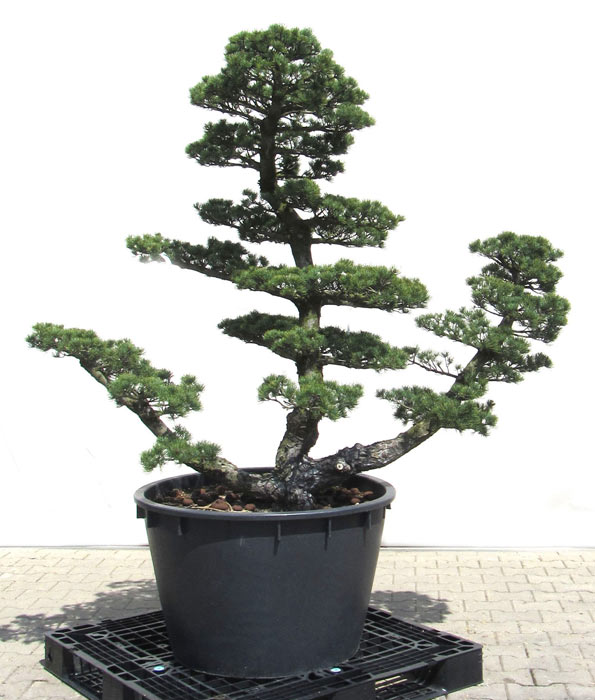 Producten tuinbonsai der bonsai online shop for Bonsai onlineshop