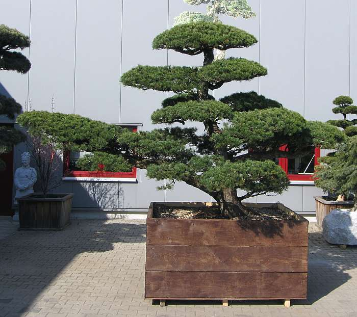 produkte gartenbonsai kiefer gartenbonsai. Black Bedroom Furniture Sets. Home Design Ideas