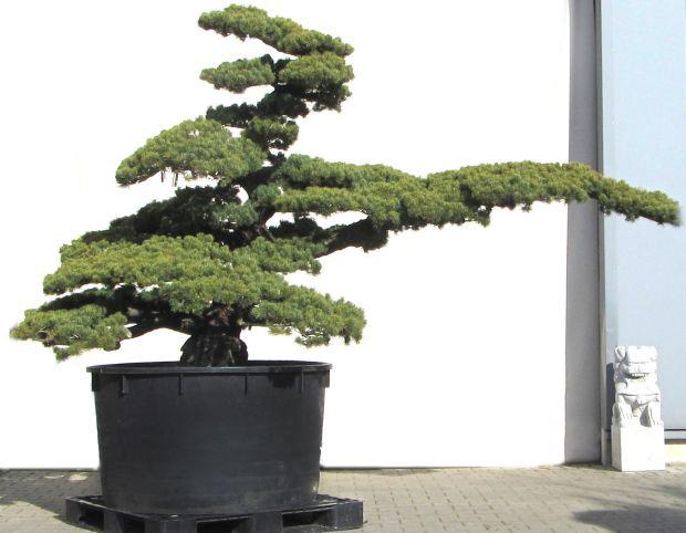 60 years - www.bonsai.de f6e6cf587963