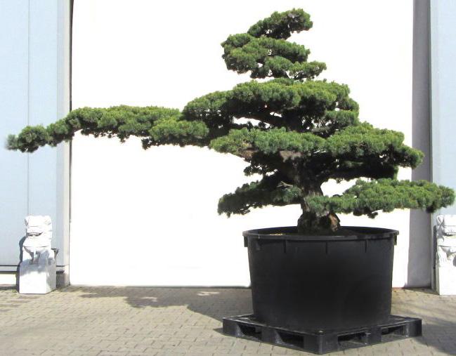 kiefer bonsai pflanzen f r nassen boden. Black Bedroom Furniture Sets. Home Design Ideas