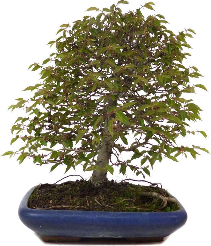 Japanese Grey-bark Elm bf77f23c2eb1
