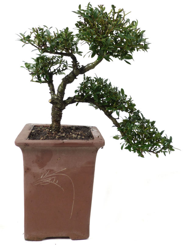 produkte bonsai laubb ume l009 ilex ca 18 jahre der bonsai online shop. Black Bedroom Furniture Sets. Home Design Ideas