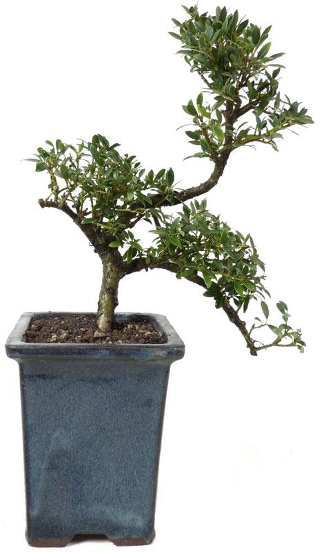 produkte bonsai laubb ume l006 jap stechpalme ca 9 jahre der bonsai. Black Bedroom Furniture Sets. Home Design Ideas