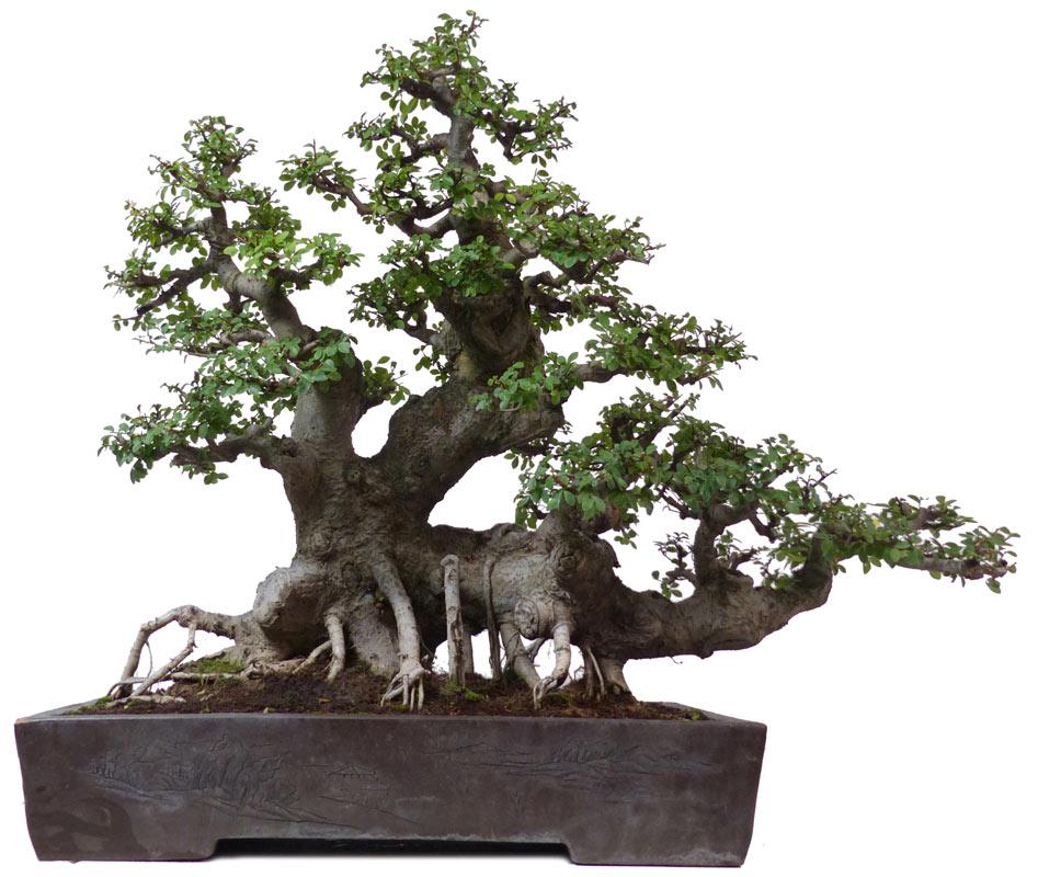 (80 cm) - www.bonsai 4f604b07de2b