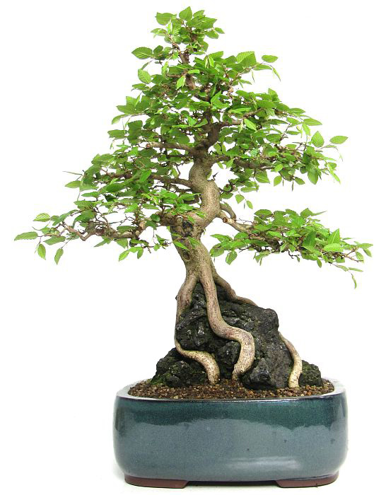produkte bonsai laubb ume kor hainbuche ca 20 j 51 cm der bonsai. Black Bedroom Furniture Sets. Home Design Ideas