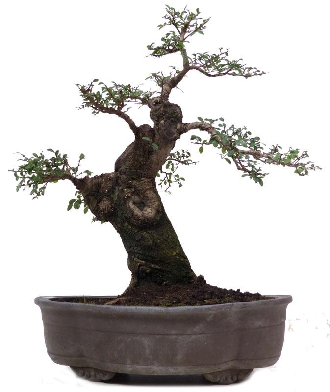 Bonsai.de SHOP, Bonsai, Laubbäume, [L032] Chin. Ulme, ca. 25 J. (46 cm)