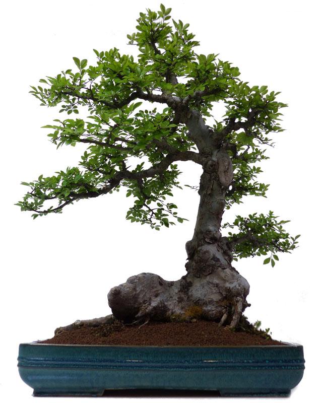 Bonsai.de SHOP, Bonsai, Laubbäume, [L050] Chin. Ulme, ca. 30 J. (78 cm)